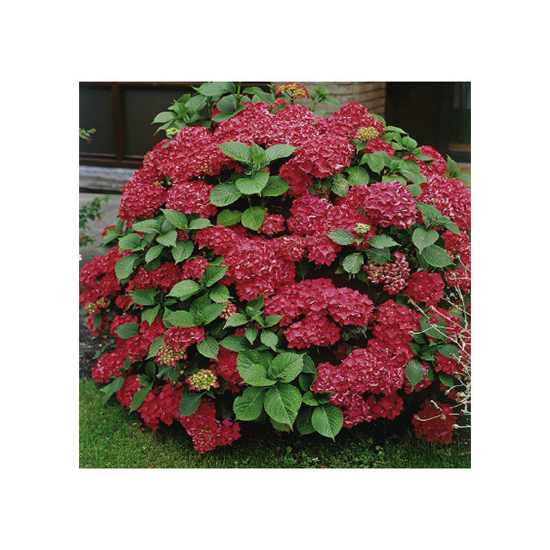 Hortensia masja plante en ligne for Plantes en ligne belgique