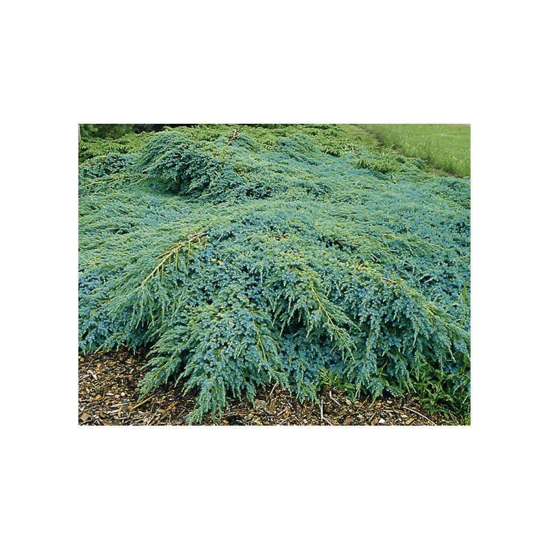 Genevrier blue carpet plante en ligne - Couvre sol persistant ...