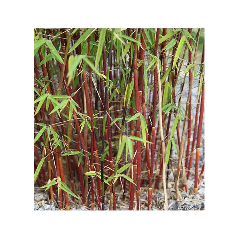 Bambou fargesia asian wonder plante en ligne - Bambou rouge en pot ...