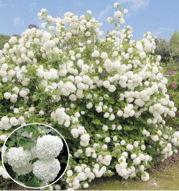 boule de neige plante en ligne With decoration d un petit jardin 15 boule de neige plante en ligne