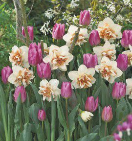 COLLECTION ROSE ET MIEL : 5 NARCISSES DOUBLE REPLET + 10 TULIPES TRIOMPHES EVENING BREEZ