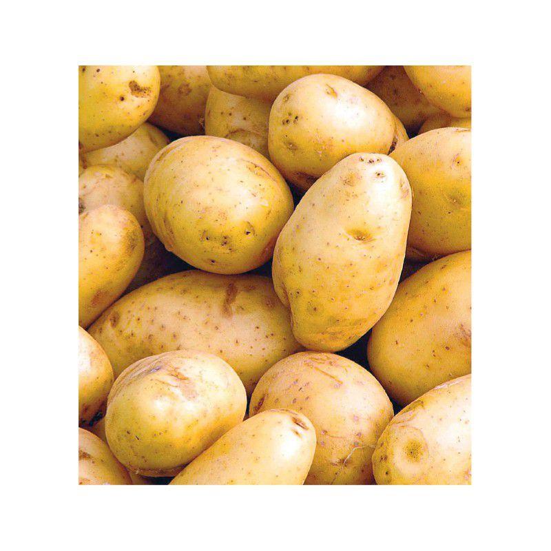 Pomme de terre charlotte plante en ligne - Date plantation pomme de terre ...