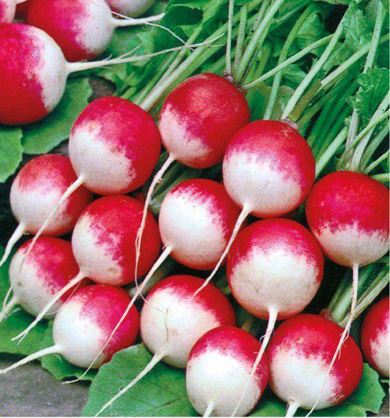 Radis rond bicolore national 3 jacques briant plante en ligne - Quand cueillir les radis ...