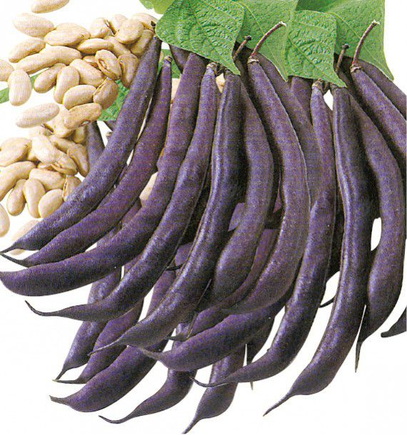 haricot nain mangetout purple queen plante en ligne. Black Bedroom Furniture Sets. Home Design Ideas