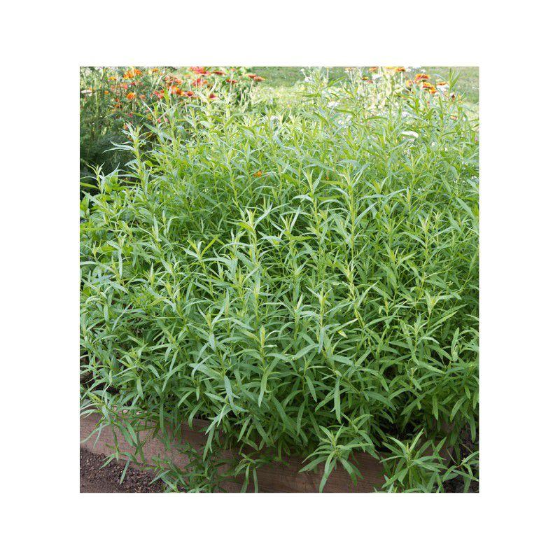 Estragon de russie plante en ligne for Commander des plantes en ligne