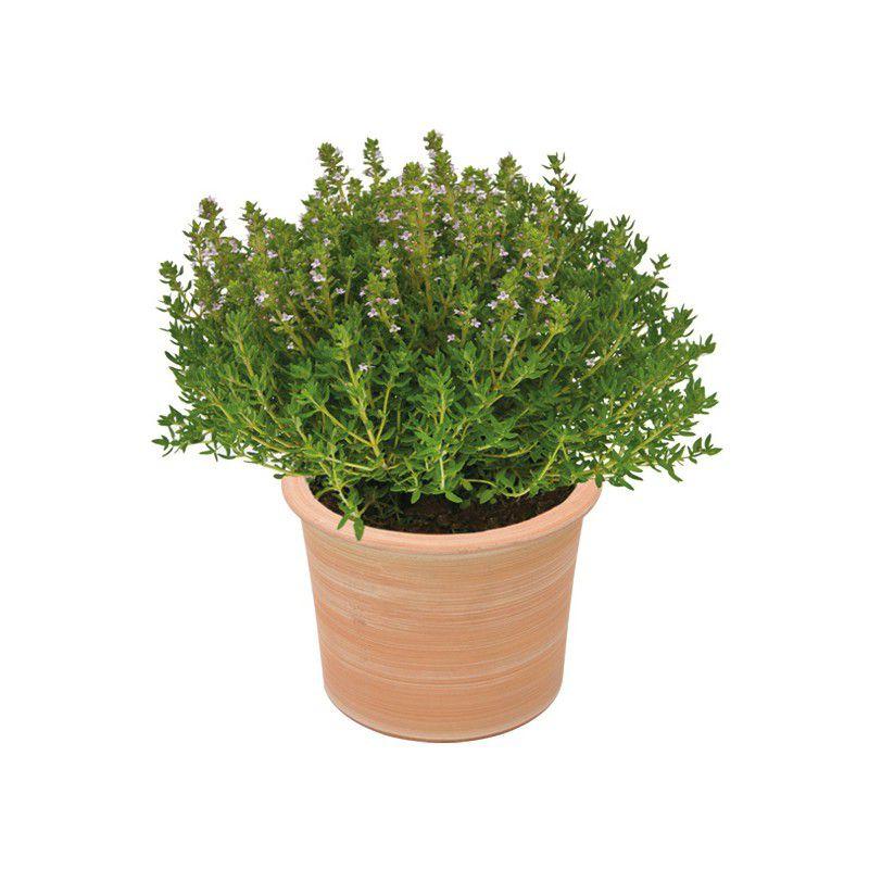 Thym officinal plante en ligne for Plantes en ligne