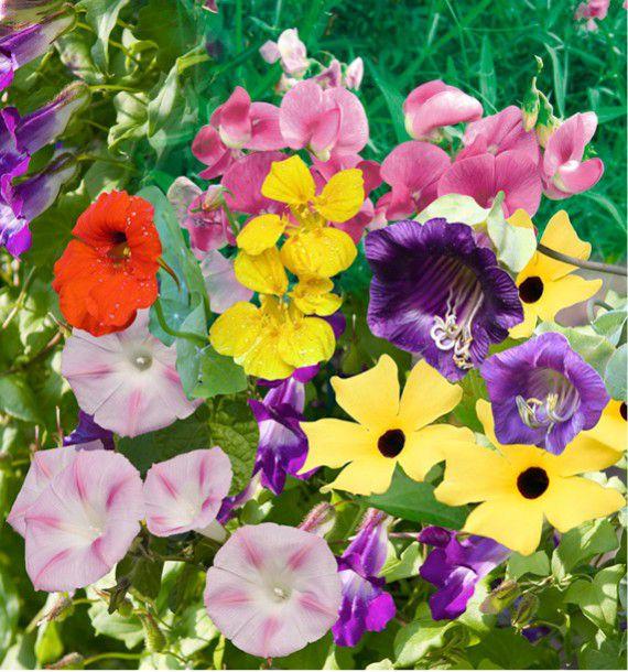 Fleurs grimpantes en melange plante en ligne for Plante en ligne