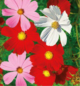 COSMOS SENSATION VARIES