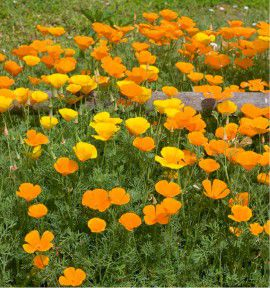 PAVOT DE CALIFORNIE ESCHSCHOLZIA ORANGE
