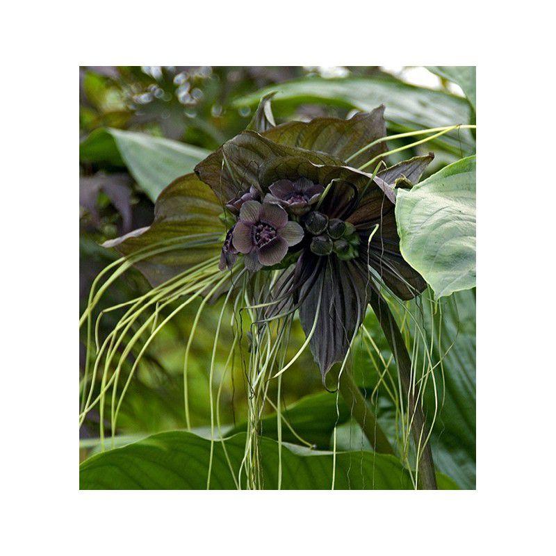 Plante chauve souris plante en ligne for Plante interieur en ligne