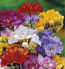 FREESIAS DOUBLES