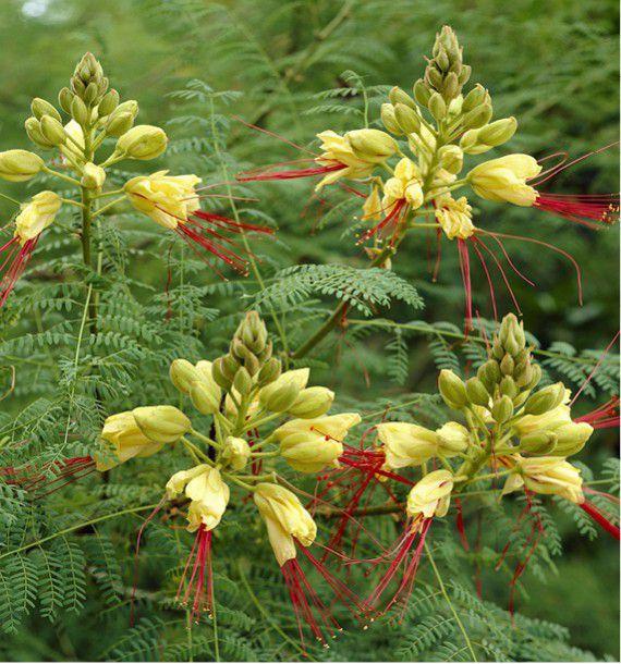 Flamboyant rustique plante en ligne for Plante en ligne