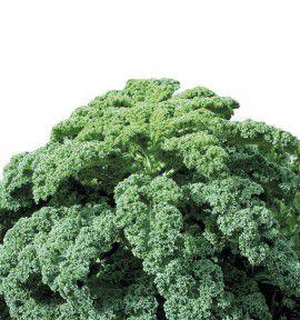 CHOU FRISE VERT DEMI-NAIN (Chou Kale)