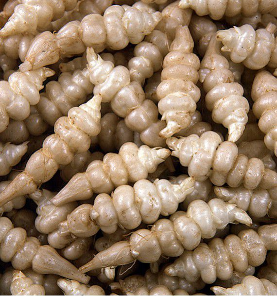 CROSNES DU JAPON