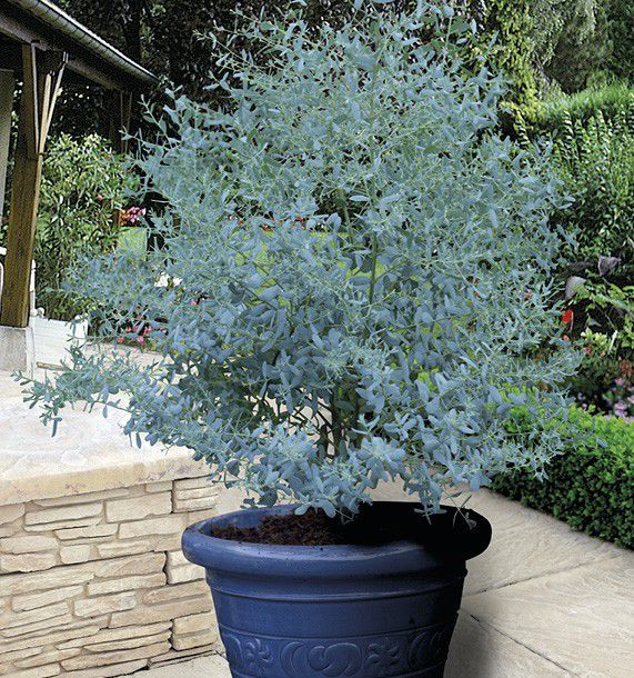 Arbre en pot pour terrasse hibiscus tricolore sur tige - Arbre pour terrasse appartement ...