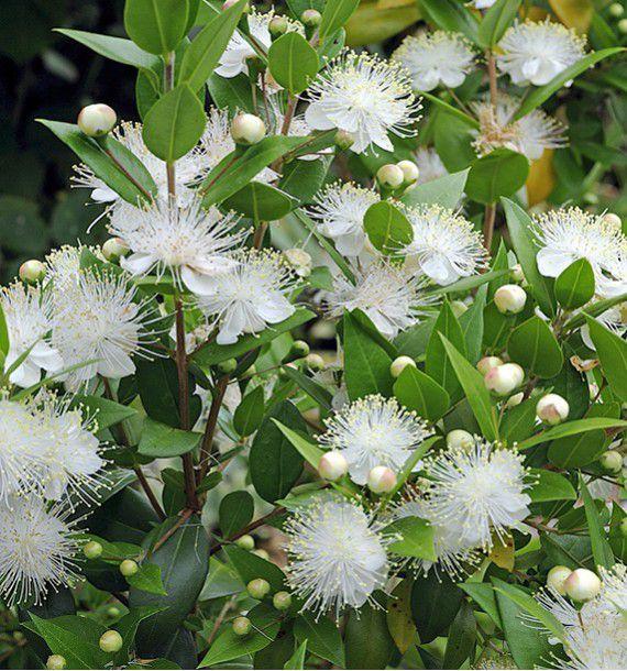 Myrte tarentina plante en ligne for Myrte arbuste