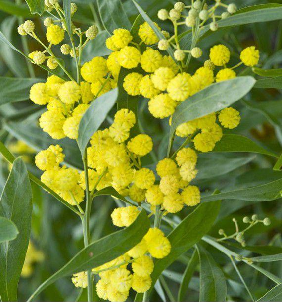 mimosa des 4 saisons plante en ligne