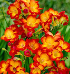 FREESIA MAGMA