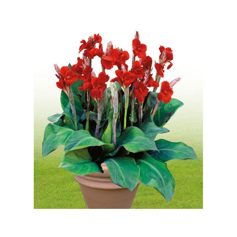 Canna etoile de feu plante en ligne for Commander des plantes en ligne