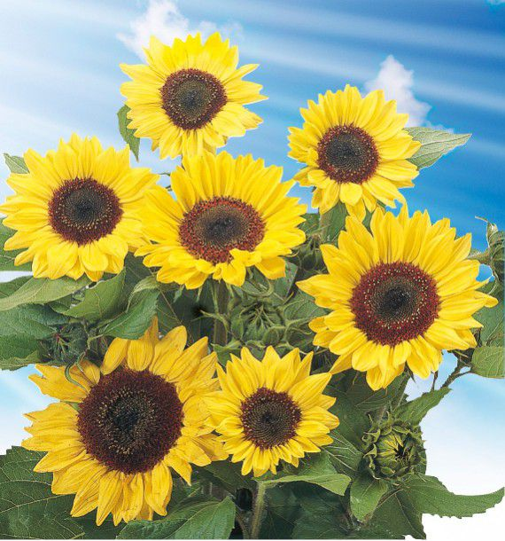 Soleil tournesol jaune a coeur noir plante en ligne - Fleur au coeur noir ...