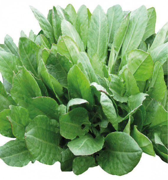 Oseille de belleville jacques briant plante en ligne for Briant plantes
