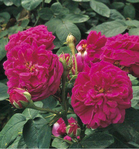 ROSIER ANCIEN ROSE DE RESCHT