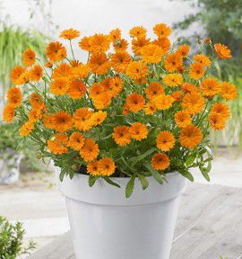 CALENDULA WINTER WONDERS® PEACH POLAR