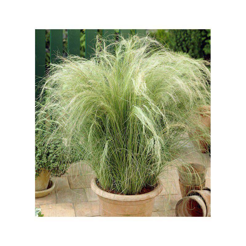Cheveux d 39 ange plante en ligne for Plantes en ligne