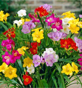 FREESIAS SIMPLES