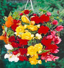 COLIBRIANT 12 BEGONIAS CASCADES : 3 JAUNES + 3 ROUGES + 3 ROSES + 3 ORANGE