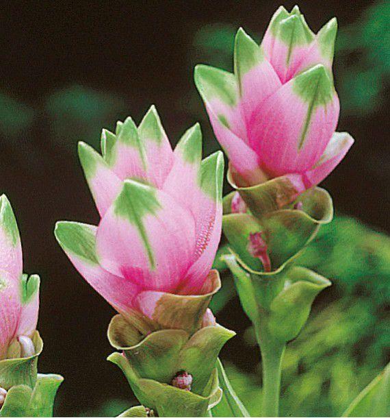 plante interieur curcuma