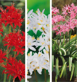 COLIBRIANT 6 NERINES : 1 ROUGE + 2 BLANCHES + 3 ROSES