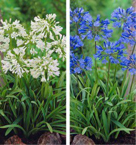 COLIBRIANT 5 AGAPANTHES : 3 BLEUES + 2 BLANCHES
