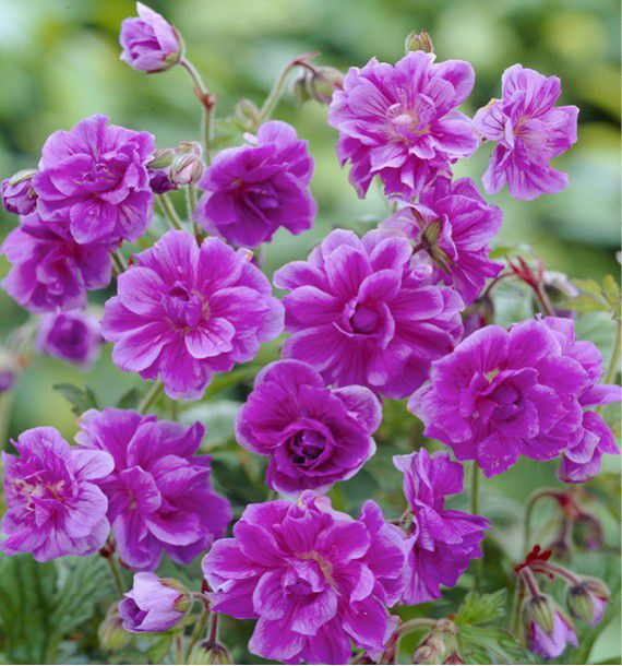 Geranium himalayense plenum plante en ligne for Geranium d interieur