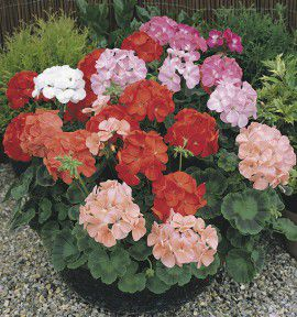 GERANIUMS ZONALES F2 VARIES