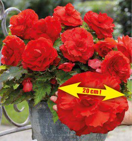 BEGONIA SUPERBA ROUGE