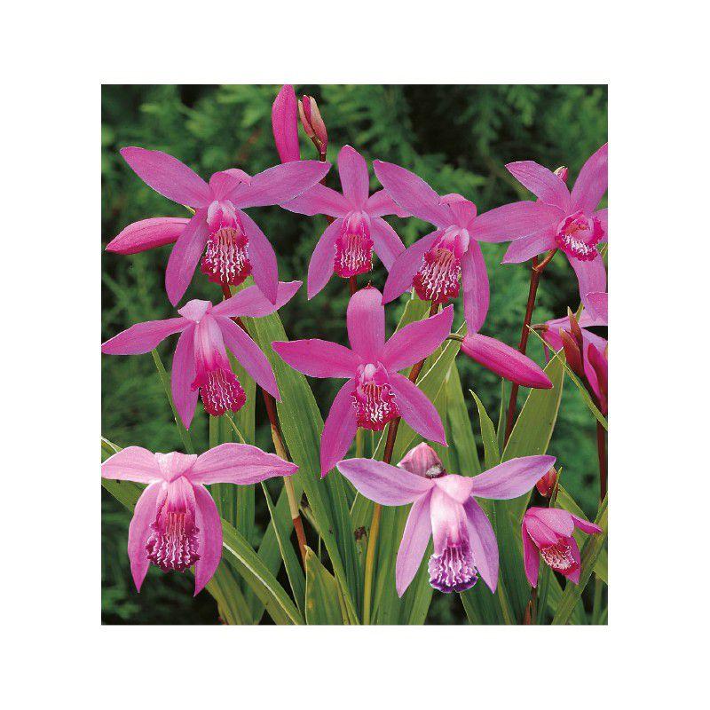 ORCHIDEE RUSTIQUE, plante en ligne