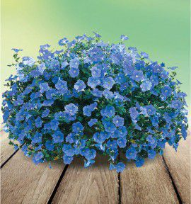 SURFINIA® SKY BLUE Keilavbu