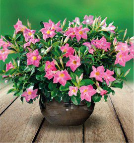 DIPLADENIA DIAMANTINA® ROSE