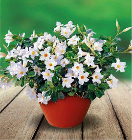 DIPLADENIA DIAMANTINA® WHITE