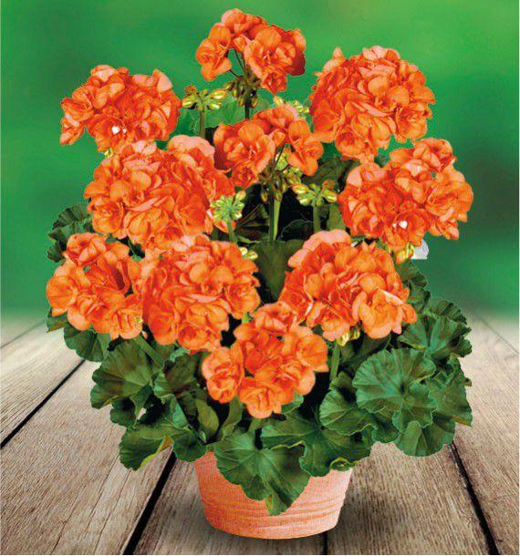 Geranium zonale gloria 06 fislore plante en ligne for Geranium d interieur