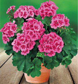 GERANIUM ZONALE AMERICANA® ROSE MEGA SPLASH Amri rose Splash