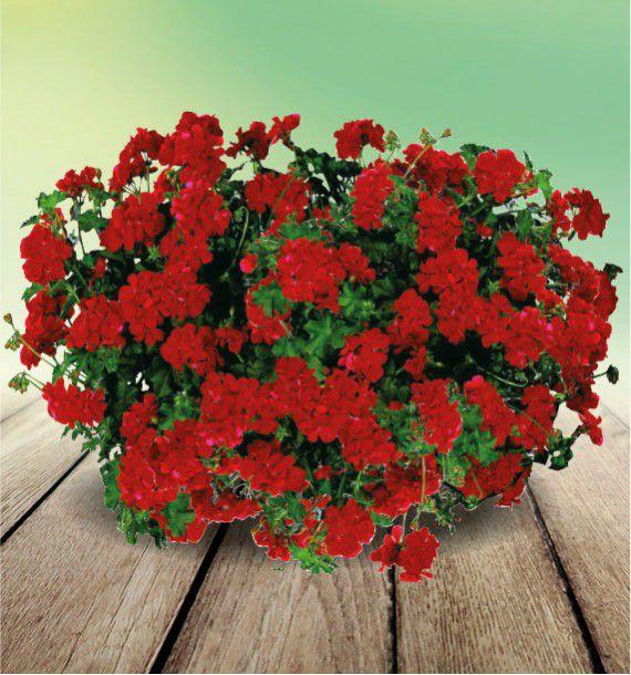 Geranium lierre double maxime fismaxi plante en ligne - Geranium lierre double ...