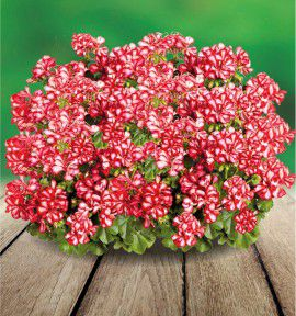 GERANIUM LIERRE DOUBLE ATLANTIC RED STAR®