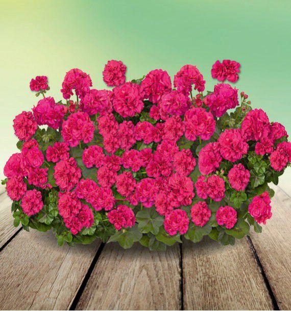 Geranium lierre double fire deep rose plante en ligne - Geranium lierre double retombant ...