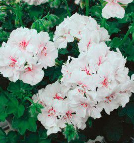 GERANIUM LIERRE DOUBLE FIRE WHITE®