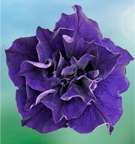 PETUNIA DOUBLE BLEU SWEET SUNSHINE®