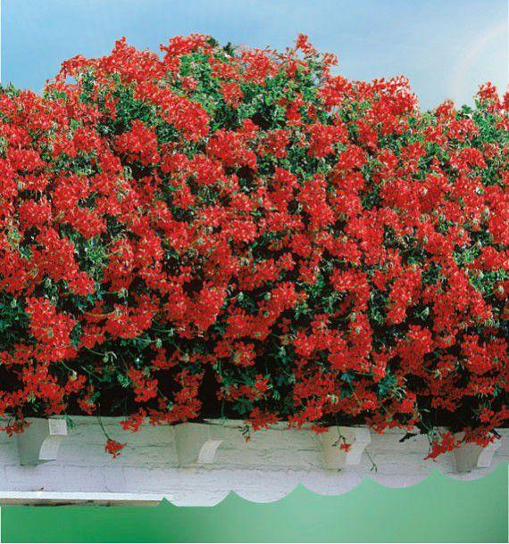 Geranium lierre blizzard rouge plante en ligne - Quand planter les geraniums ...