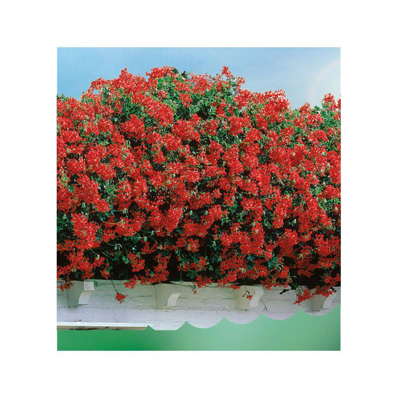 Geranium lierre blizzard rouge plante en ligne for Geranium d interieur