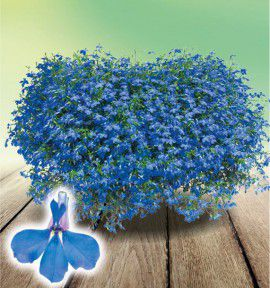 LOBELIA PLEUREUR TECHNO® BLUE